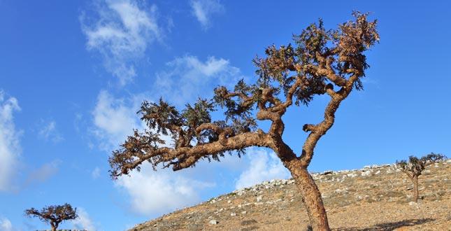 boswellia ( boswellia serrata)